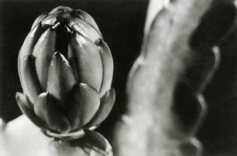 אלפונס הימלרייך, קקטוס סלניצראוס גרנדיפלורס (מלכת הלילה), שנות ה-40, הדפסת כסף, אוסף גלריה סילבר פרינט, עין הוד